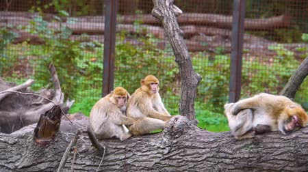 barbary : group of barbary macaques sitting on a tree log together, social animal behavior, Endangered animal specie from Africa Stock Footage