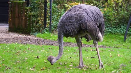 pštros : closeup of a common ostrich eating grass, flightless bird specie from Africa