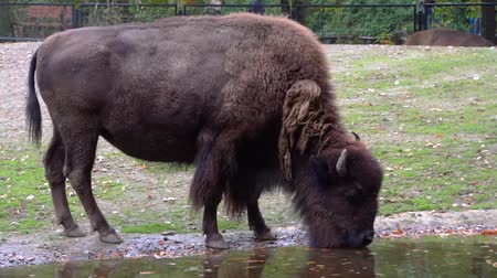 копытный : closeup of a american bison drinking water, near threatened animal specie from America Стоковые видеозаписи