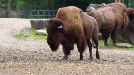 terrestre : closeup of a american bison walking, Near threatened animal specie from America