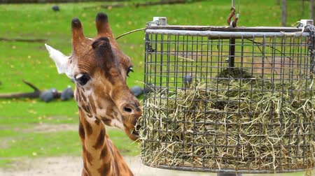přežvýkavec : closeup of a kordofan giraffe eating hay from a basket, critically endangered animal specie from Sudan in Africa