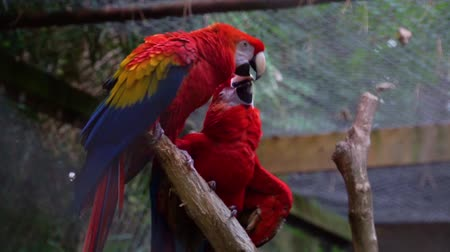 brazilian : scarlet parrot couple kissing each other, birds expressing love, tropical pet from America Stock Footage