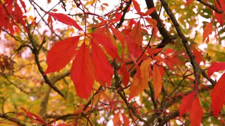 acer : closeup of maple leaves waving in a gentle breeze or wind, Autumn season nature background