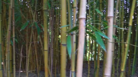 stalk : closeup of bamboo trunks in panning motion, tropical nature background