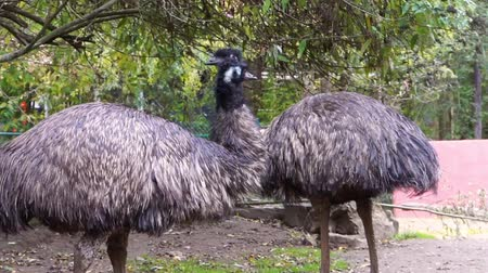 long necked : couple or emus together in closeup, popular flightless bird specie from Australia Stock Footage