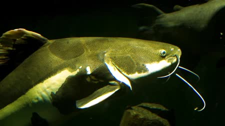mês : closeup of a redtail catfish swimming by, big tropical fish specie from the amazon basin of america
