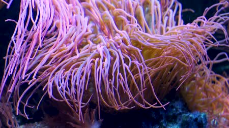 беспозвоночный : snakelocks sea anemone in closeup, common invertebrate specie from the mediterranean sea Стоковые видеозаписи