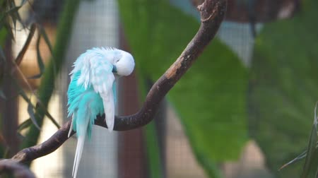 mutation : closeup of a blue and white budgerigar parakeet, tropical colorful parrot specie from Australia