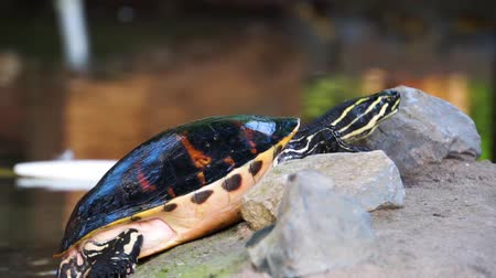 libra : closeup of a cumberland slider turtle lifting its body and moving, popular tropical marsh terrapin specie from America
