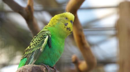 ismert : closeup of a budgerigar parrot, popular colorful parakeet specie from Australia Stock mozgókép