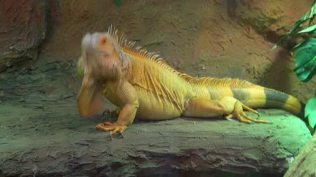 игуана : closeup of a green iguana headbanging, funny animal behavior, popular tropical reptile specie
