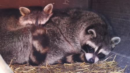 coon : closeup of a common raccoon couple laying close together. Tropical animal specie from America