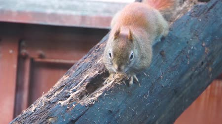 sciuridae : closeup of a american red squirrel digging and chewing a hole in wood, typical animal behavior Stock Footage