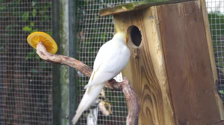 mutation : closeup of a lutino cockatiel chewing with its beak on wood, popular color mutation in aviculture