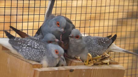 pigeon nest : family of diamond doves together in their nest, typical social bird behavior