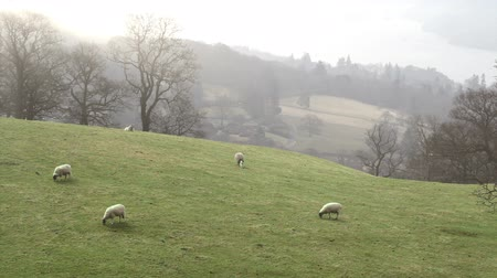 спокойные сцены : Sheep grazing on the fells in the Lake District of England