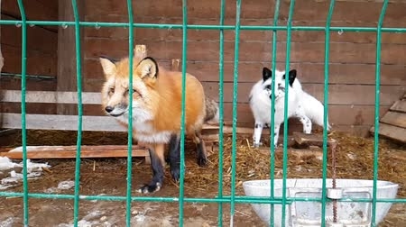 untamed : Red Fox in a cage. Male of common red Fox and female silver-black fox in captivity behind bars. Carnivorous mammal of canine family of foxes in public nursery. Silver-black Fox used in to obtain fur Stock Footage