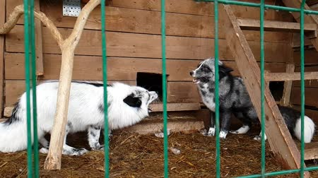 untamed : Fox in a cage. Female silver-black fox in captivity behind bars. Carnivorous mammal of canine family of foxes in public nursery. Silver-black Fox used in to obtain fur