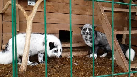 untamed : Fox in a cage. Female silver-black fox in captivity behind bars. Carnivorous mammal of canine family of foxes in public nursery. Silver-black Fox used in to obtain fur. Slow motion video