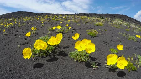 estigma : Wild flora Kamchatka Peninsula: yellow flowers Papaver microcarpum (Poppy family) growing on volcanic slag swaying in the breeze on a sunny day. Eurasia, Russian Far East, Kamchatka Region. Vídeos