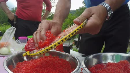 вылеченный : Of fresh red caviar of salmon, before as salting, using racket for playing badminton. Kamchatka Peninsula, Russian Far East, Eurasia.