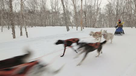 аляскинским : KAMCHATKA PENINSULA, RUSSIA - MARCH 4, 2018: The Sled Dog Race (snow disciplines) Russian Cup of Sled Dog Race (snow disciplines) Стоковые видеозаписи