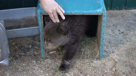 arctos : Womans hand teases little brown bear (Ursus arctos piscator) from an improvised den (refuge) in zoo. Kamchatka bear cub, born few months ago in wild, lost his mother and was placed to survive in zoo. Stock Footage