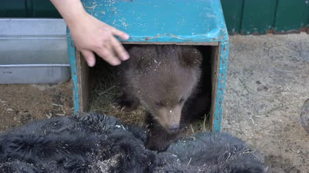 improvised : Womans hand lures Kamchatka brown bear cub from an improvised refuge in zoo. Little bear (Ursus arctos piscator), born few months ago, lost his mother in wild nature and was placed to survive in zoo.