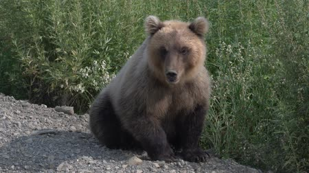 arctos : Biggest hungry Kamchatka brown bear sits on the roadside of the gravel country road, breathes heavily and sniffs. Kamchatka Peninsula, Russian Far East, Eurasia. Stock Footage
