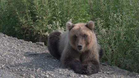 respiração : Hungry Kamchatka brown bear lying on the roadside of the gravel country road, and looks around. Eurasia Russian Far East, Kamchatka Peninsula.