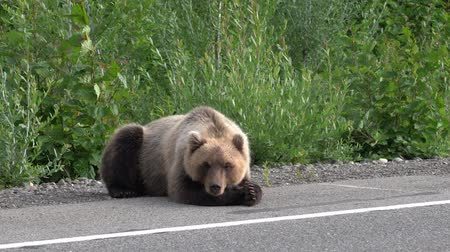 arctos : Hungry Kamchatka brown bear lies on roadside of asphalt road, heavily breathing, sniffing and looking around. Kamchatka Peninsula, Russian Far East, Eurasia.