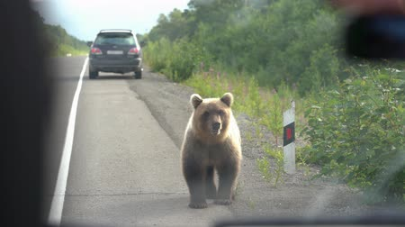 arctos : View from the cars interior to hungry Kamchatka brown bear that walks along an asphalt road and begs for food from people in passing cars. Eurasia, Russian Far East, Kamchatka Peninsula.