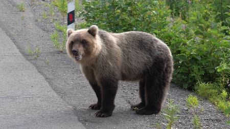 arctos : Hungry Kamchatka brown bear stands on roadside of asphalt road, heavily breathing, sniffing and looking around. Kamchatka Peninsula, Russian Far East, Eurasia.