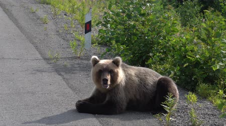 arctos : Hungry Kamchatka brown bear lies on roadside of asphalt road, heavily breathing, sniffing and looking around. Eurasia, Russian Far East, Kamchatka Peninsula. Stock Footage