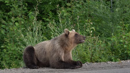 arctos : Hungry Kamchatka brown bear lies on roadside, in front of him on asphalt road driving cars. Eurasia, Russian Far East, Kamchatka Peninsula. Stock Footage