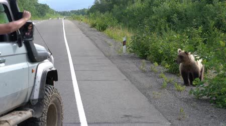 biggest : Male in off-road car shoots on smartphone through window of Kamchatka brown bear that stands on road and begs for food from people transit on highway. Eurasia, Russian Far East, Kamchatka Peninsula.