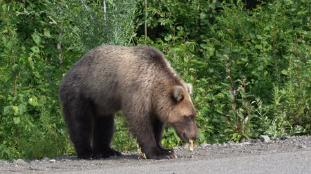 yazlık : Hungry Kamchatka brown bear eats pie, which he gave stupid people from car on asphalt road. Eurasia, Russian Far East, Kamchatka Peninsula.