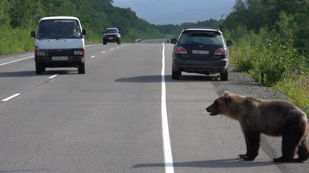 arctos : KAMCHATKA PENINSULA, RUSSIAN FAR EAST - AUGUST 4, 2018: Alone young hungry Kamchatka brown bear walking along road and begs food from people in passing automobiles on highway.