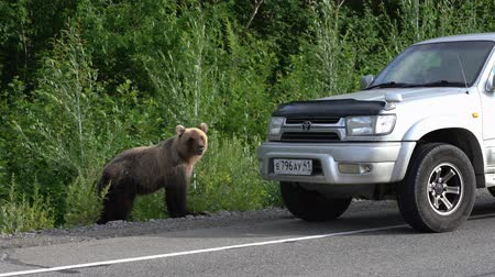 arctos : KAMCHATKA PENINSULA, RUSSIAN FAR EAST - AUGUST 4, 2018: Young hungry Kamchatka brown bear walks along road and begs for food from people in passing cars on highway. Stock Footage