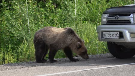 arctos : KAMCHATKA PENINSULA, RUSSIAN FAR EAST - AUGUST 4, 2018: Young hungry Kamchatka brown bear walking along road and begs food from people in passing automobiles on highway.