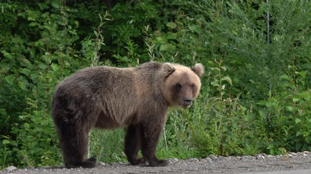 respiração : Hungry Kamchatka brown bear lies on the roadside of asphalt road, heavily breathing, sniffing and looking around. Kamchatka Peninsula, Eurasia, Russian Far East.