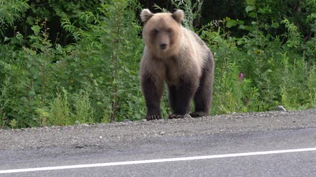 arctos : Wild hungry Kamchatka brown bear on the roadside of asphalt road, heavily breathing, sniffing and looking around. Kamchatka Peninsula, Russian Far East, Eurasia.