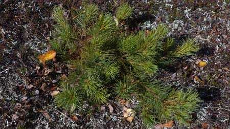 pinus : Wild flora of Kamchatka Peninsula: top view of young small bushes of evergreen Pinus pumila (Siberian dwarf pine or Japanese stone pine) in tundra, swaying in wind. Russian Far East, Kamchatka Region. Stock Footage