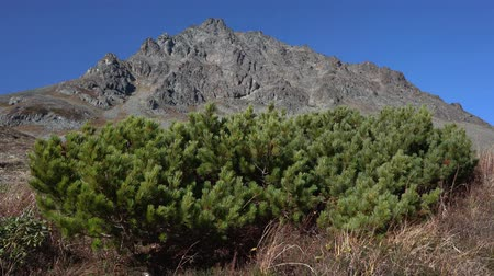 pinus : Wild flora of the Kamchatka Peninsula: Japanese bushes or pinewoods, swaying on the sun Stock Footage
