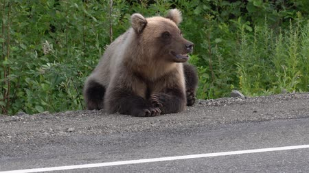 respiração : Hungry Kamchatka brown bear lies on roadside of asphalt road, heavily breathing, sniffing and looking around. Eurasia, Russian Far East, Kamchatka Peninsula. Stock Footage