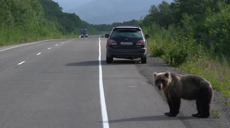 arctos : KAMCHATKA PENINSULA,  RUSSIAN FAR EAST - AUGUST 4,  2018: Alone wild young hungry Kamchatka brown bear walking along asphalt road and begs food from people in passing automobiles on highway. Stock Footage