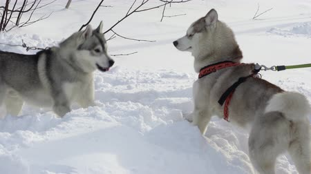 uzak : PETROPAVLOVSK CITY, KAMCHATKA PENINSULA, RUSSIAN FAR EAST - FEB 2, 2019: Two dogs of husky breed on leash play before winter sport competition - skijor racing and sled dog racing. Stok Video