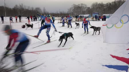 mushing : KAMCHATKA PENINSULA, RUSSIAN FAR EAST - FEB 2, 2019: Open team championship of Petropavlovsk-Kamchatsky City in winter sports mushing disciplines - skijoring racing. Mass start skijoring competitions. Stock Footage