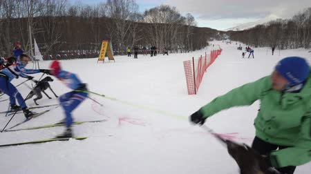 harness : PETROPAVLOVSK KAMCHATSKY CITY, KAMCHATKA PENINSULA, RUSSIAN FAR EAST - FEB 2, 2019: Relay skijoring race competitions - Open Team Championship in winter sports mushing disciplines - skijoring racing