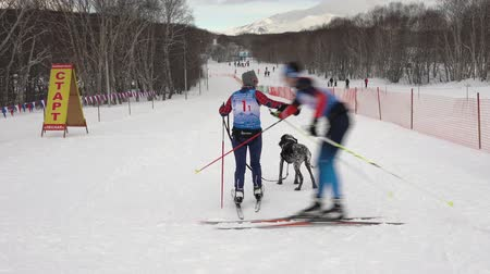mush : KAMCHATKA PENINSULA, RUSSIAN FAR EAST - FEB 2, 2019: Relay skijoring race competitions - Open Team Championship of Petropavlovsk-Kamchatsky City in winter sports mushing disciplines - skijoring racing Stock Footage